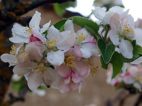 Flower Apple Tree, Flowers, Spring, Flower, Nature