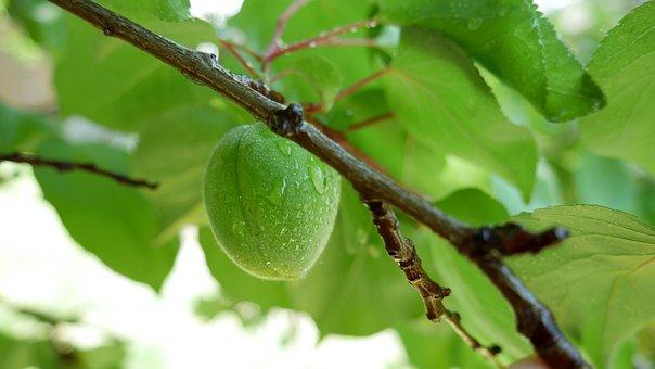 Apricot, Green, Spring, Summer, Tree, Branch, Raw