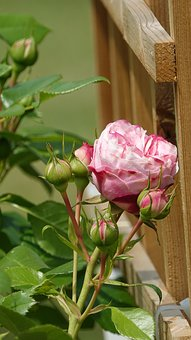Roses, Climbing Plants, Spring