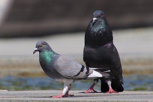 Pigeons, Birds, Animal, Nature, Animal World, Standing