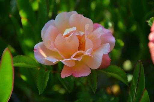 Rose, Flower, Blossom, Plant, Summer, Nature, Floral