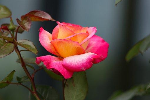 Rose, Flowers, Bouquet, Beautiful, Dark Background, Tea