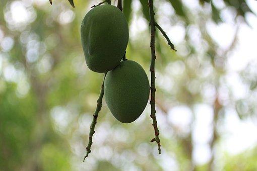 Mango, Palo, Barranquilla, Fruit, Tree, Wood, Sleeve