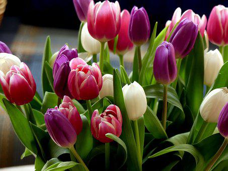 Tulips, Colorful, Bouquet, Cut Flowers