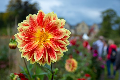 Dahlia, Yellow Red, Blossom, Bloom, Red, Yellow, Color