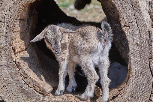 Goat, Young, Sweet, Log, Eye, Mammal, Horns, Face