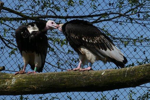 Vultures, Birds Of Prey, Zoo, Blijdorp, Rotterdam, Bird