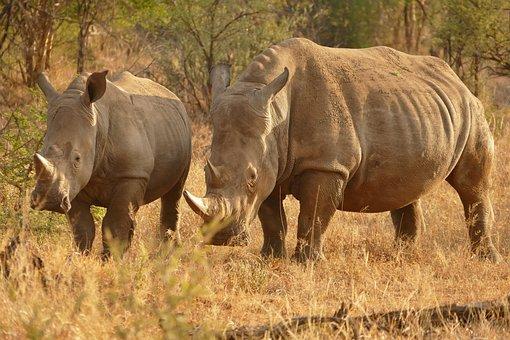 Africa, Rhino, Safari, Animal, Travel, Endangered
