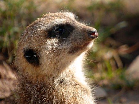 Meerkat, Animals, Wild Animal, Tiergarten, Zoo, Small