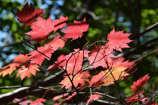 Autumn, Maple, Nature