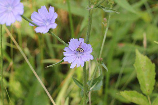 Chicory, Bee, Pollinate