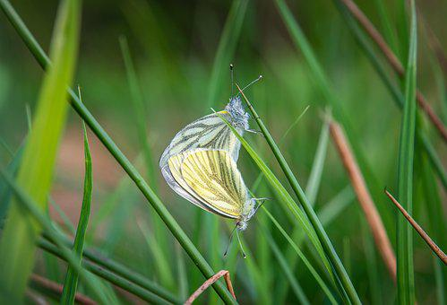 Macro, Butterfly, Belyanka, Blade Of Grass