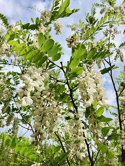 Robinia, Bloom, Flourished, Black Locust Bloomed