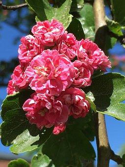 Hawthorn, Blossom, Bloom, Close, Flower, Full Bloom