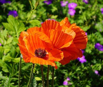 Poppies, Blossom, Bloom, Klatschmohn