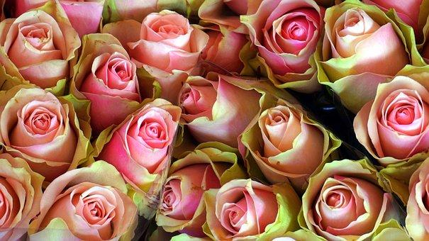 Roses, Blossom, Bloom, Flower, Double Flower