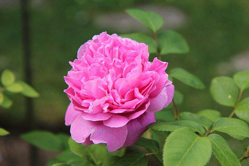 Pink, Rosebush, English Rose, Rosier English, Blossomed