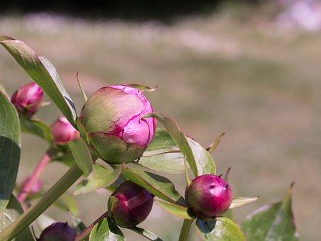Button, Flower, Green, Pink, Button Flower, Bud, Peony