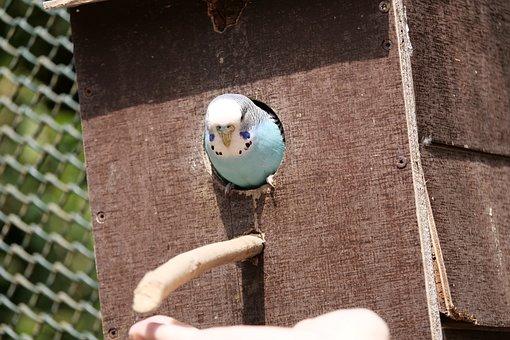 Budgie, Nature, Bird, Small Bird, Blue, Ziervogel