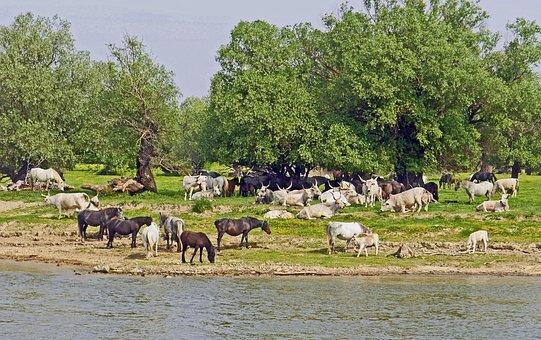 Serbia, Danube Island, Free Grazing, Horses, Cattle