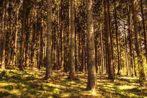Trees, Fir Forest, Nature, Conifers, Moss, Sunlight