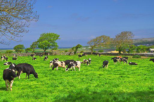 Ireland, Cow, Beef, Landscape, Summer, Cattle, Nature