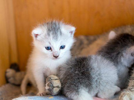 Kitten, Cat, Young Cat, Domestic Cat, Babies, White