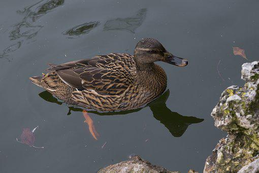 Duck, Fauna, Lake, Waterfowl, Pond