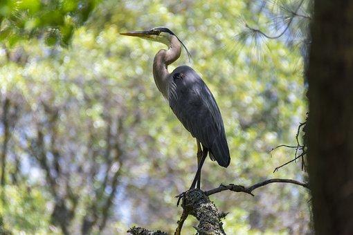 Bird, Blue Heron, Wildlife, Nature, Feathers