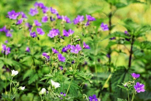 Cranesbill, Flower, Plant, Blossom, Geraniaceae
