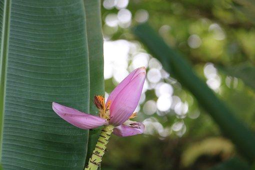 Banana, Flower, Pink, Leaves, Green, Nature, Garden