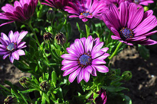 Osteospermum, South African Daisy, Flower, Plant