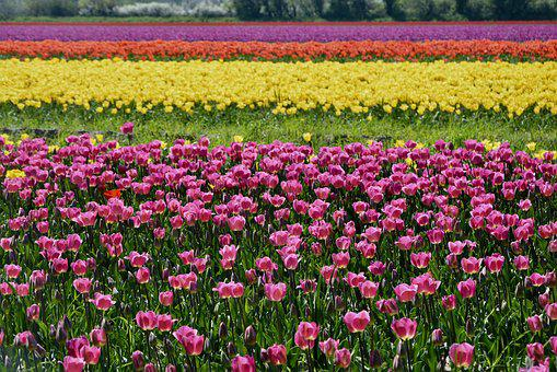 Tulips, Culture Of Tulips, Flowers, Yellow Roses