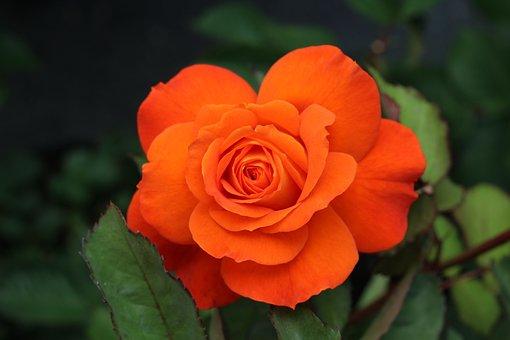 Pink, Orange, Nature, Garden, Love, Pink Flower