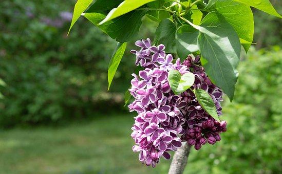 Lilac, Rare Color Combination, Flower, Garden, Spring