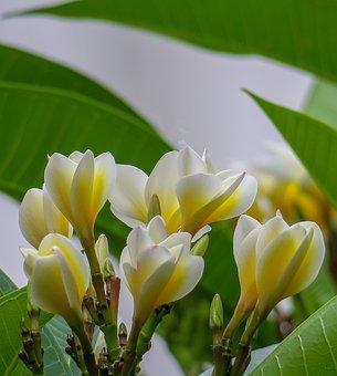 Plumeria, Nature, Plant, Garden, Leaf, Yellow, White