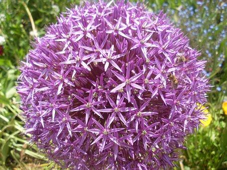 Globule, Purple, Allium, Close