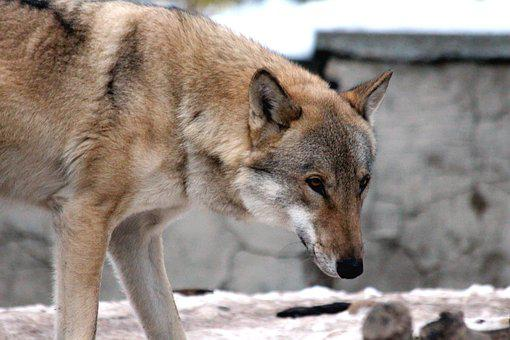 Wolf, Animal, Canis Lupus, Gray Wolf, Zoo, Nature