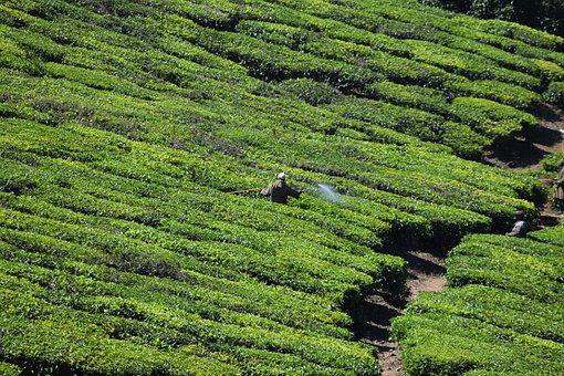 Tea Estate, Tea Plant, Green, Green Tea
