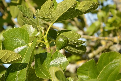 Fig, Tree Fig Tree, Green Fruit, Orchard, Green Leaves