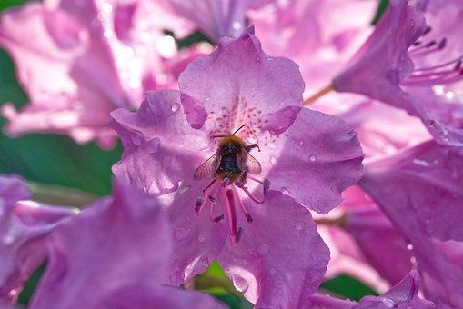 Hummel, Flower, Nature, Blossom, Bloom, Pink Flower