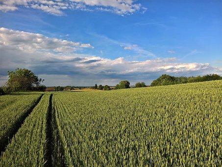 Nature, Landscape, Wheat, Green, Blue