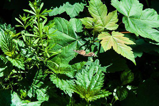 Butterfly, Green, Nature, Animal, Leaves, Large Leaves