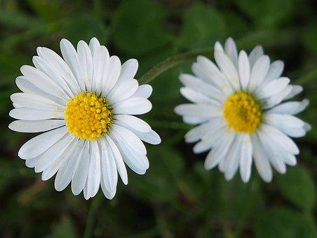 Daisy, Small, White Blossom, Garden, Wild, Meadow