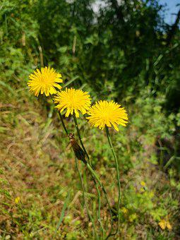 Nature, Flower, Summer, Dandelion, Flora, Grass, Weeds