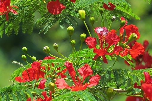 鳯凰 Wood, Nature, Plant, Garden, Leaf