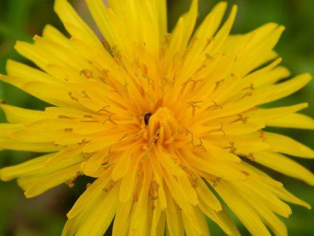 Dandelion, Yellow, Beetle, Nature, Plant, Spring