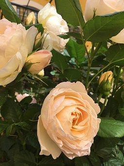 Nostalgia Rose, Rose, Blossom, Bloom, Rose Bloom, Pink