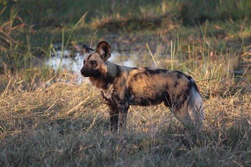 Painted Dog, Wild, Africa, Botswana, Mammal, Wild Dog