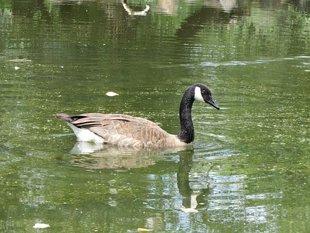 Goose, Pond, Swimming, Park, Calm, Bird, Nature